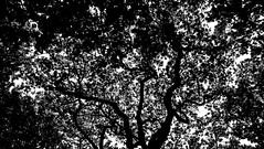 Auckland's Tree (MrTheEdge7) Tags: onetreehill newzealand aotearoa auckland aucklandnz nz kiwi tree trees treesilhouette silhouette blackandwhite bw northisland