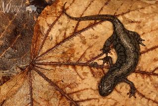 Bergmolch ♀ (Ichthyosaura alpestris alpestris)