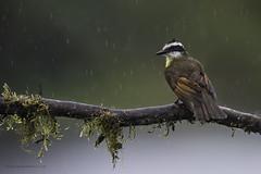 Tropical downpour (Khurram Khan...) Tags: greatkiskadee costarica rain rainforest wildlife wild wildlifephotography wwwkhurramkhanphotocom khurramkhan nikonnofilter iamnikon birdphotography birds nkkor branch