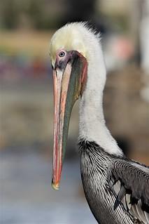 EOS12221 Must be viewed Large. Brown Pelican. Oceanside, California