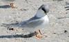Forster's Tern (Sterna forsteri);  Englewood Beach, Florida [Lou Feltz] (deserttoad) Tags: nature animal water park florida bird wildbird tern gull behavior beach