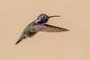Costa's Hummingbird (gilamonster8) Tags: costas hummingbird bird animal fly flight ngc flickrelite wing explore explored canon eos 5dmarkiv ef400mm56l
