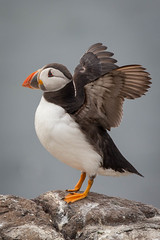 Ready for Flight.jpg (JuSlaughter) Tags: england puffin islands fratercula seahouses bill bamburgh red comic blue auk multicoloured arctica north funny multicolored island farne comical coloured black northumberland white