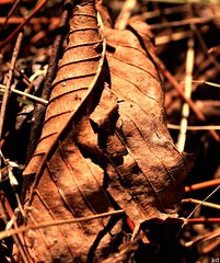 Aftermath of a harsh winter... (Kens images) Tags: leaf canadian nature fallen brown rust autumn colour texture kanata ontario macro magic sadness trees seasons rural forests