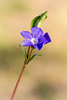 Periwinkle (Jez22) Tags: periwinkle flower plant nature floral background flora spring beautiful beauty leaf bloom isolated closeup blue blooming purple colorful wild vinca color blueviolet growth perennial violet rural stem myrtle common copyright jeremysage kent england