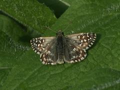Pyrgus malvae - Grizzled skipper - Толстоголовка малая мальвовая (Cossus) Tags: hesperiidae pyrginae pyrgus пестово 2014 толстоголовка skipper