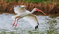 Ibis Landing (Thank you, my friends, Adam!) Tags: wideangle lenses standard telephoto super closeup zoom adamzhang orlando lakemary nikkor teleconverter ngc 漂亮 nikon dslr 长焦 长焦镜头 尼康 镜头 中佛州 野生动物 保护区 单反 lens central florida wildlife color colorful colors 色彩 多姿 beautiful gorgeous gallery fine art photography photographer excellent interesting explore fun nice unique