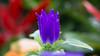 Purple flower (ddli008) Tags: flower bokeh 花 散景 花圃 garden spring 花園 floral 꽃 blume closeup 風玲花 ボケ