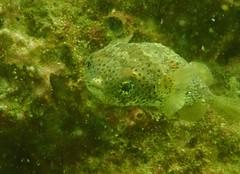 Balloonfish (Diodon holocanthus) (HockeyholicAZ) Tags: scuba playa coco hermosa rocketfrog buceo fish underwater costarica nicoya guanacaste tico seca azucar sugarcane tamarindo liberia
