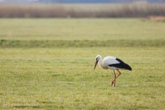 the storks are back 10 (photos4dreams) Tags: gersprenz münster hessen germany naturschutz nabu naturschutzgebiet photos4dreams p4d photos4dreamz nature river bach flus naherholung storch störche stork storks adebar canoneos5dmark3 canoneos5dmarkiii