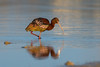 Finally Some Color (Amy Hudechek Photography) Tags: whitefacedibis ibis bird migration colorado april spring amyhudechek nikond500 nikon600mmf4