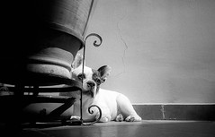 Mia sunbathing (magat129245) Tags: leicapolskafilm olympus xa2 ilford hp5 ilfosol3 epsonv600 tanger morocco mia bulldog french dog relax sun sunbath terrasse animal nature shootfilm analog develop filmisnotdead