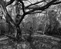 Tree and Shadows (Hyons Wood) (Jonathan Carr) Tags: tree ancient woodland rural northeast black white bw monochrome largeformat landscape abstract 4x5 5x4