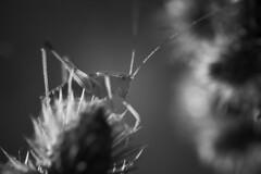 Ambush (Michel Couprie) Tags: nature grasshopper sauterelle bw blackandwhite noiretblanc nb backlight light macro animal insect insecte flower canon eos ef10028lmacro couprie composition contrejour