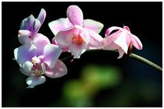 蝴蝶蘭   Butterfly orchid (Phalaenopsis) (Alice 2018) Tags: phalaenopsis bokeh color flower pink summer 2017 hongkong canoneos6d eos6d canonef70200mmf4lisusm canon orchids orchid