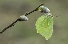 Brimstone (Gonepteryx rhamni). (Bob Eade) Tags: brimstone pussywillow butterfly yellow gonepteryxrhamni eastsussex woodland wildlife lewes lepidoptera sussex spring macro
