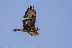 Buse variable - Common buzzard (dom67150) Tags: oiseau nature bird animal rapace raptor busevariable commonbuzzard buteobuteo envol inflight
