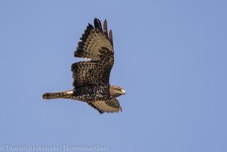 Buse variable - Common buzzard