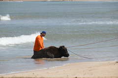 Hanalei Bay bison rescue (Matthew Almon Roth) Tags: hanaleibay hanalei kauai kauaiflooding bison princeville hanaleipier