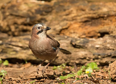 Jay (Jim Crozier) Tags: jay woodland canoneos1dx canon300mmf28l2xiii