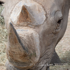 southern white rhinoceros or southern square-lipped rhinoceros (Ceratotherium simum simum) (Ed Steenhoek) Tags: southernwhiterhinocerosorsouthernsquarelippedrhinocerosceratotheriumsimumsimum usa southernwhiterhinoceros 4082441 texas mammal ceratotheriumsimumsimum southernsquarelippedrhinoceros southernwhiterhinocerosorsouthernsquarelippedrhinoceros