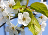 Flowers (LuckyMeyer) Tags: flower fleur kirschblüte makro sun garden spring white green blume blüte plant