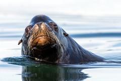Pop up (Melanie Leeson) Tags: canadianwildlife zalophuscalifornianus mammals northamericanwildlife nikon nikond500 nikkor200500mm britishcolumbiawildlife blingsister melanieleesonwildlifephotography californiasealion dlsr