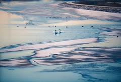 Craquelé (Ingeborg Ruyken) Tags: eenden vorst februari winter zwanen empelfilmpjewinter2018 frost february flickr snow sneeuw morning ijs maximakanaal empel koud 500pxs dropbox cold swans natuurfotografie ochtend kanaalpark ducks ice