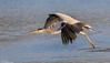 Grey Heron (Steve (Hooky) Waddingham) Tags: animal bird countryside nature flight wild wildlife winter fish fishing rutland
