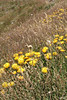 Button everlastings. (misty1925) Tags: buttoneverlasting blooms flowers northeastvictoria mthotham