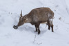 4R3A4387 (Thomas 2312) Tags: tiere winter hohe wand steinbock