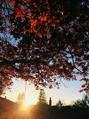Backyard Japanese Maple (rudyg39) Tags: