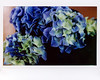 Hydrangea (Howard Sandler (film photos)) Tags: flower hydrangea macro graflex film crowngraphic largeformat instant instax wide