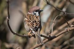 Tree Sparrow (The Treerunner) Tags: beachroad treesparrow