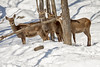 Suspicious (Eunice Gibb) Tags: parcomega montebello quebec wildlife parkanimals omegapark quebecanimalpark animals wildanimals canada canadiananimals deer red winter animalsinwinter wildlifeinwinter quebecwinter deerinsnow deerinwinter