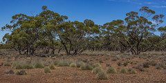Mallee near Kimba South Australia. (jasonsulda) Tags: mallee kimba south australia triodia gibber desert lake gilles outback country arid landscape