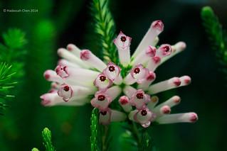 Erica sessiliflora (White Bottlebrush Heath) from South Africa