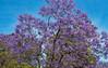 Jacaranda tree, very pretty (werner boehm *) Tags: wernerboehm jacaranda tree lagos portugal