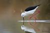 Mikado (Jacques GUILLE) Tags: oiseau domainedesoiseaux echasseblanche 09 ariège blackwingedstilt charadriiformes himantopushimantopus mazères récurvirostridés bird occitanie france fr