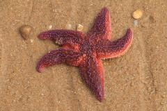 Étoile rouge (domiguichard) Tags: starfish beach plage sand mer sable étoile