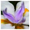 Wild Iris (Jose Matutina) Tags: extensiontubes flora flower iris nature sonya6500sel50f18 spring wildiris