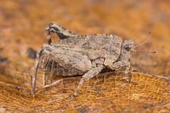 Tetrix ?bipunctata (NakaRB) Tags: insecta orthoptera tetrigidae 2015 nymph tetrix