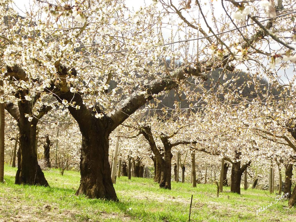 Águas Frias (Chaves) - ... cerdeiras (cerejeiras) em flor ...