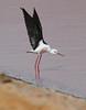 Black-winged Stilt (Wild Chroma) Tags: himantopus himantopushimantopus stilt birds nonpasserines jordan aqaba observatory aqabaobservatory