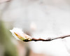 First signs of Spring (Beverly LC) Tags: 2018 fujix30 buds jpeg serviceberry lrclassiccc