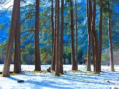 Trees, Yosemite Valley (shollingsworth) Tags: trees yosemite yosemitenationalpark yosemiteconservancy snow trunks stephenhollingsworth hollingsworth lightl16 light l16 capturedbylight nature