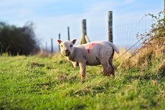 A smiling eating sheep or maybe it is a bit grown up Lamb (Ilia Sibiryakov) Tags: sheep lamb east sussex lewes downs grass field green jupiter9 jupiter 9