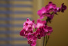 Orchids (AncasterZ) Tags: orchids plant flower home canonfd135mmf35