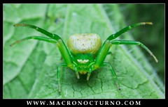 Ebrechtella tricuspidata, give me a hug! (Macronocturno) Tags: ebrechtella tricuspidata thomisidae crab spider araña cangrejo hug abrazo verde green