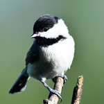 Shy little chickadee thumbnail